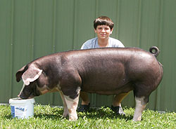 Champion Poland Gilt